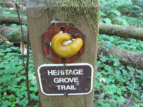 """Banana slug tries to confuse hikers"" image by Flickr user Kid Cowboy"
